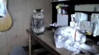 猫、突然怒り・・・話し出す?
