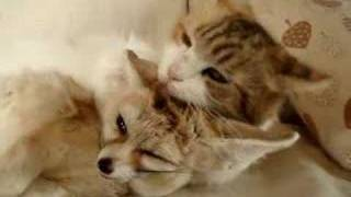 異種愛 可愛い我が子 フェネックのママは猫!