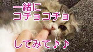 【人気の猫】まったく無抵抗のネコ2 スコティシュフォールドの子猫