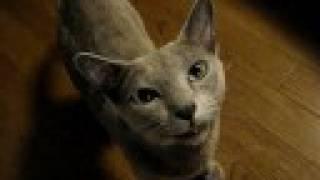 【ペット自慢動画】鳴き猫