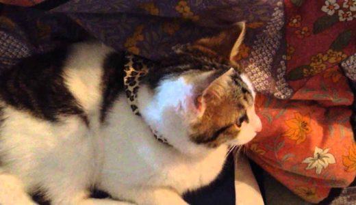 なつき度MAXな猫 ねこは膝こたつで丸くなる  A cat is rounded off with a kotatsu
