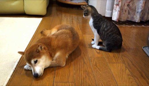 柴犬にそっと毛づくろいをする猫