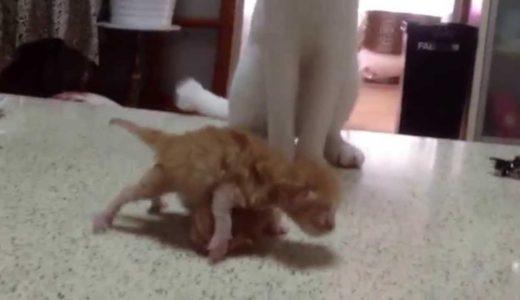 赤ちゃん猫で踊る猫2