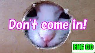 子猫のネコ吉のダンボール遊び♪ 侵入者を窓から猫パンチ!Neko-Cat of Kitten playing in the cardboard【Eng CC】