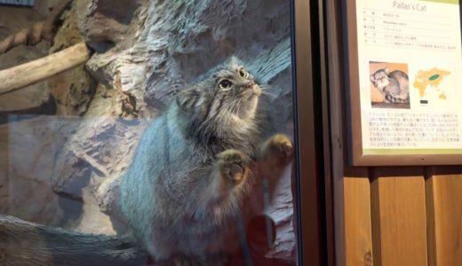 担当のおねえさんに遊んで欲しい モッフモフ!最古のネコ科「マヌルネコ」保全の森 那須どうぶつ王国へ行って来ました! 2017年2月4日