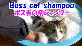 保護猫ボス吉、初めてのシャンプーで極太のしっぽがゴボウになる!Boss Cat's first bath time. His thick tail looks like a burdock.