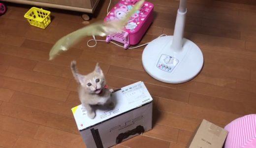 動くものには何でも反応する子ねこ可愛い  A kitten reacts to the moving ribbon