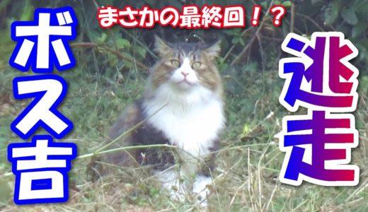 ボス猫、ハーネスを脱ぎ捨て逃走する! Boss cat, gets off the harness and escape!