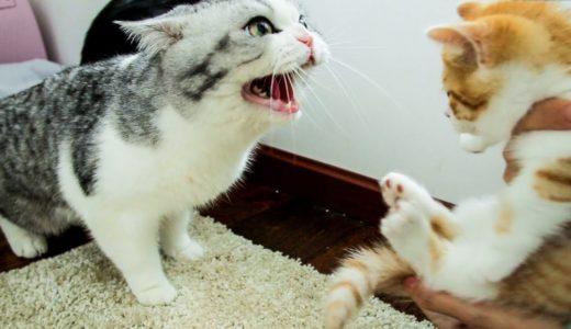 【花花与三猫】家里来了只小橘猫,大猫们直接炸毛:丢出去,它会吃穷咱家的!