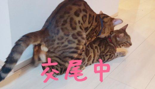 ベンガル猫のベルとテトが再び仲良ししました。