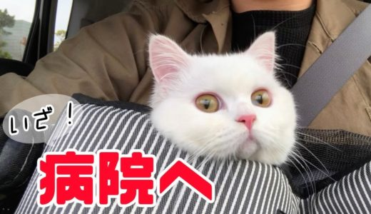 猫ニキビ治療!ポムさんついに完治!?