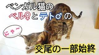 ベンガル猫のベルとテトが再び交尾をしました。