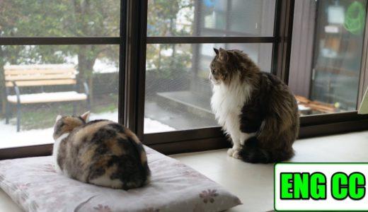初めて見る白銀の世界に驚く猫達!そしてボス吉、ついにネコ吉に告白をする‥【Eng CC】
