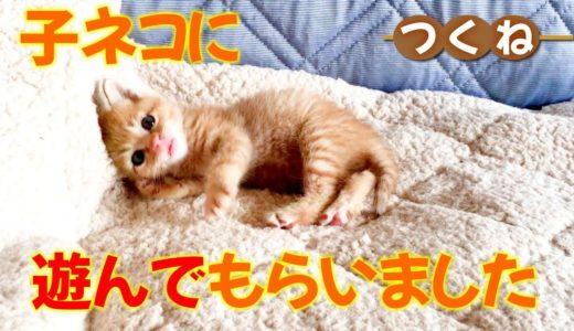 可愛くてたまらない♪茶トラの子ネコに飼い主がちょっかいを出して猫に遊んでもらう