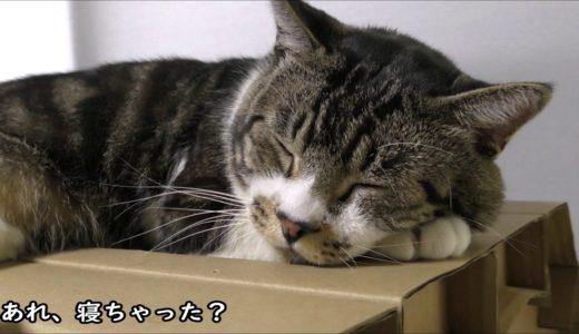 ねこじゃすりで一瞬でおやすみモードに入る猫リキちゃん☆平和な日常の様子【リキちゃんねる 猫動画】Cat video キジトラ猫との暮らし