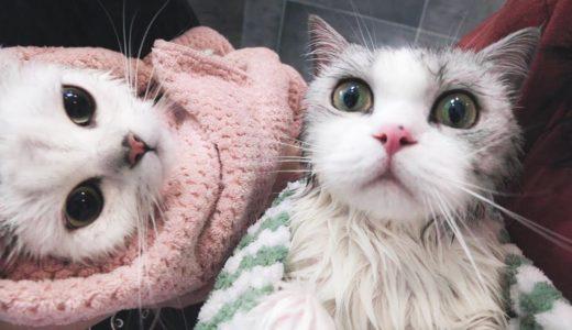 【花花与三猫】铲屎官疯了同时洗2只猫,猫一直粗口,差点和主人打起来!