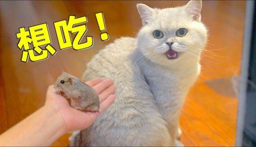 小仓鼠正式入驻多猫家庭,与天敌一同生活会是什么样的体验?