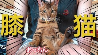 膝猫しちゃうベンガル子猫ニコがあざと可愛いすぎる!