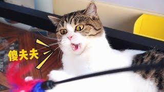 【李喜貓】12只猫一起玩逗猫棒,最后布偶猫怒了:我还没玩就被你们搞坏了!
