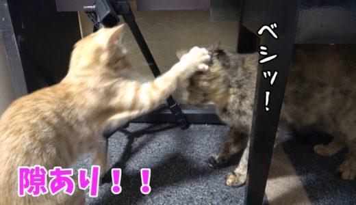 最強のメス猫に挑む子猫【子猫の成長記録・生後114日目】