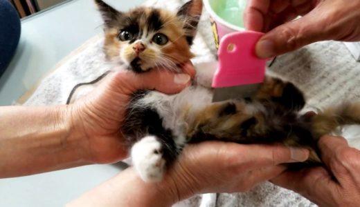 【保護猫】排水溝に落ちた子猫を保護した時のノミ取り状況です。Removal of fleas when protecting a kitten that has fallen into a drain