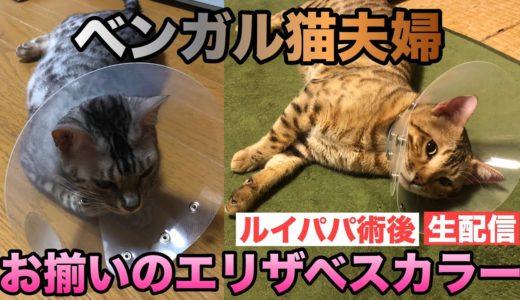 【珍しい】ベンガル猫夫婦2匹ともカラー。ルイパパ退院しました!