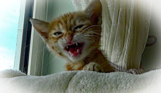 子猫を託されて(保護)・・赤ちゃん猫を見たあーにゃん!