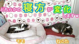 #103 寝方が違いすぎる元野良猫(モモ&ねこた)幽霊ポーズをするのはどっちだ⁉️【我が家編】