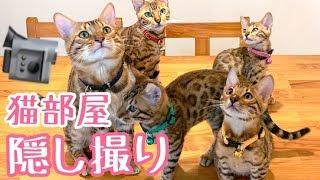 【定点隠し撮り】リビング掃除中に猫部屋のベンガル猫達を隠し撮りしてみた