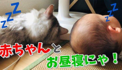 【猫】赤ちゃんと一緒に昼寝したらちょっかい出されたはっさく【サイベリアン】