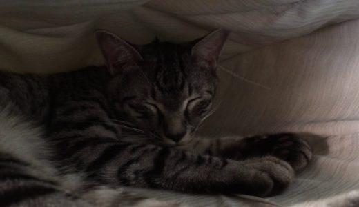 [猫動画] ネコの連太郎 ['19年8月25日]