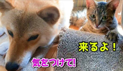 アザラシのように滑って柴犬に近づいてくる猫 A cat comes close while sliding