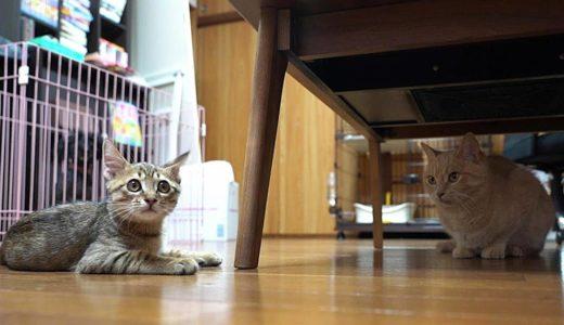 先住猫に可愛らしくも容赦なく襲い掛かるキジトラ子猫