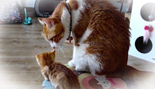 先住猫が子猫に2度目のシャーをする!その威嚇は照れ隠しなのか?w