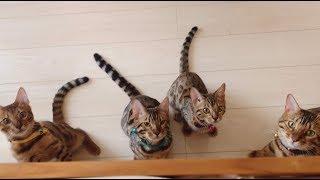 ベンガル父猫が子猫達と無邪気に遊ぶ様子