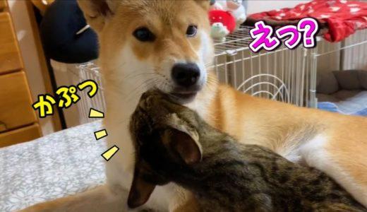 世話好き柴犬のペロペロ攻撃に猫が思わずカプリ Shiba Inu, who loves cats