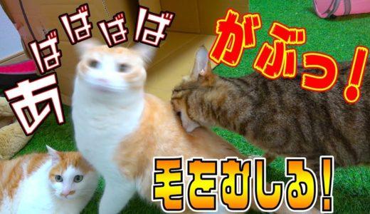 【どうした】ティガーが他の猫の毛をむしり始める!いったい何が…!?
