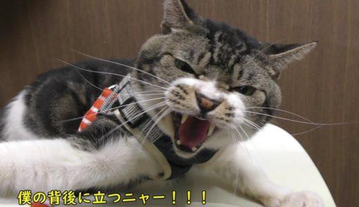 動物病院で激おこになっちゃう猫リキちゃん☆月一の通院日・今回も安定のリキゴジラ【リキちゃんねる 猫動画】Cat video キジトラ猫との暮らし