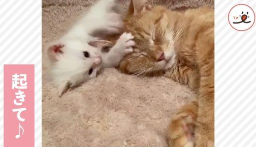 ママ、起きて遊ぼう💓 眠そうな母猫を、起こしちゃう子猫🐱💦【PECO TV】