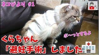 避妊手術をしました🐈🏥 ネコのくらちゃん My cat is spayed コーキtv / ネコびより