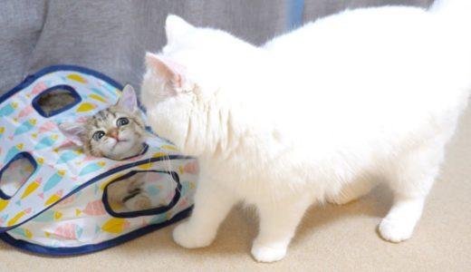 子猫の謎の遊びが気になってしまうモフ猫!