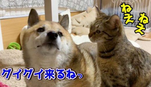 猫の積極的な行動にあの不器用柴犬がついに落ちた?!Cats playing actively with Shiba Inu