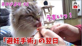 ネコのくらちゃん #2 避妊手術後 水だけはつらい💦薬でもなんでもいいから食べさせて🐈 The day after spaying