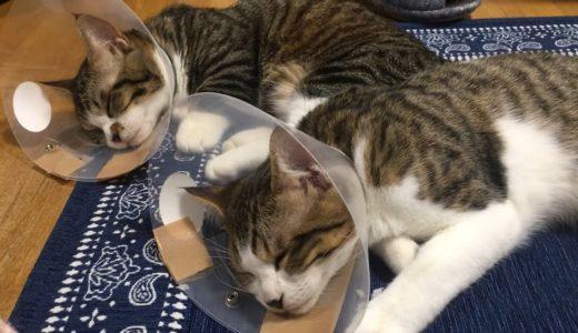 お揃いで去勢手術から帰ってきた猫がかわいい【ゆずぽんだより】