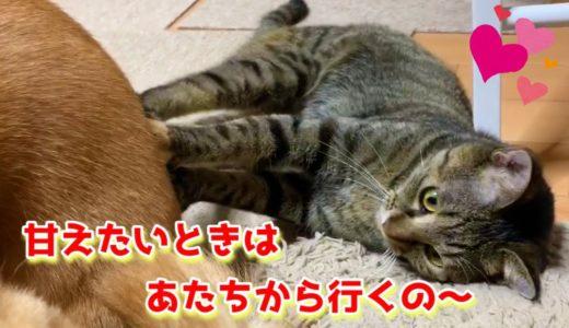 柴犬のお腹は猫にとっても最上級の柴ふ枕 Shiba Inu's stomach is the finest pillow