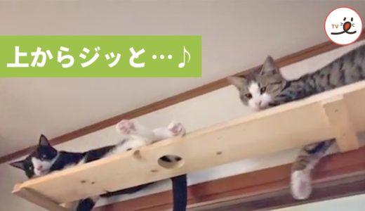 上を見ればそこは猫パラダイス💕 可愛いお顔でこちらをジッと見てくれる😳【PECO TV】