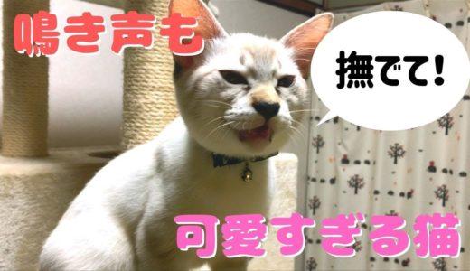 「もっと撫でて!」鳴き声で要求してくるネコが死ぬほどかわいい