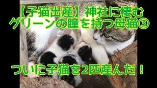【子猫出産】神社に棲むグリーンの瞳を持つ母猫③ ついに子猫を2匹産んだ!