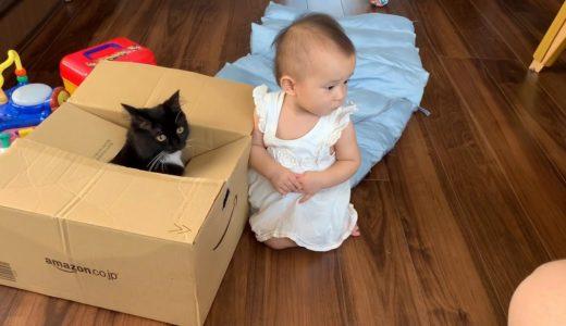 赤ちゃんの知的好奇心を刺激する猫 ノルウェージャンフォレストキャットCat tickling baby's curiosity