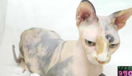 スフィンクス 里親 譲渡 成猫 アゴはネコ